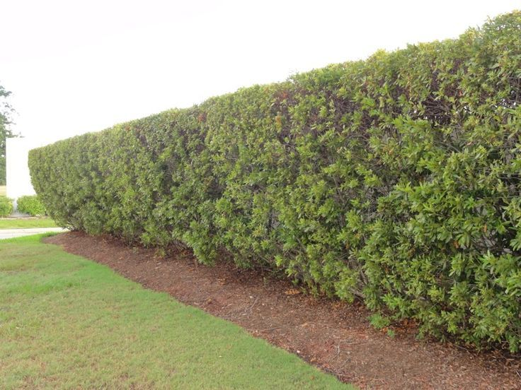 Southern Wax Myrtle Picture Plants Used As A Privacy Screen Can Myrtle Tree Fence Landscaping Garden Fence