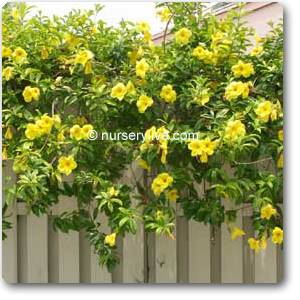 Almonds Yellow Creeper Creepers Plants Plants
