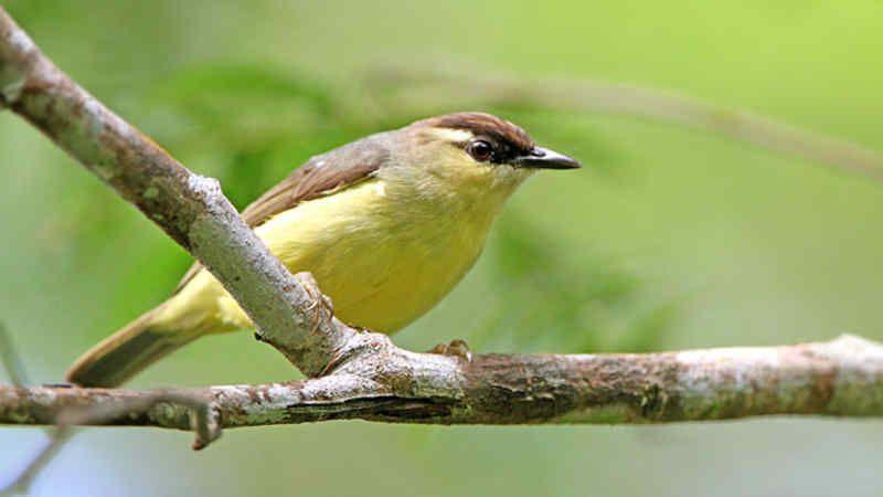 10 Jenis Burung Opior Yang Ada Di Indonesia Cara Merawatnya