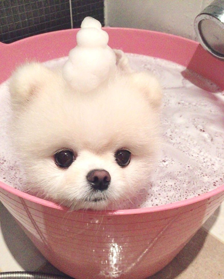 Pomeranian World On Instagram Click The Link In Our Bio