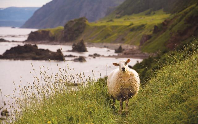 Canada's Newfoundland and LabradorHikers share Gros Morne National Park with the friendly village sheep