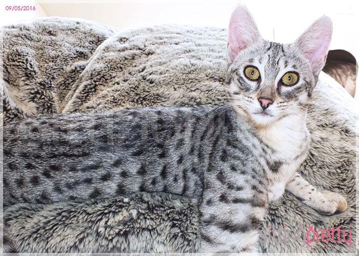F3 Silver Spotted Savannah Girl Savannah Kitten Savannah Chat Savannah Kittens For Sale