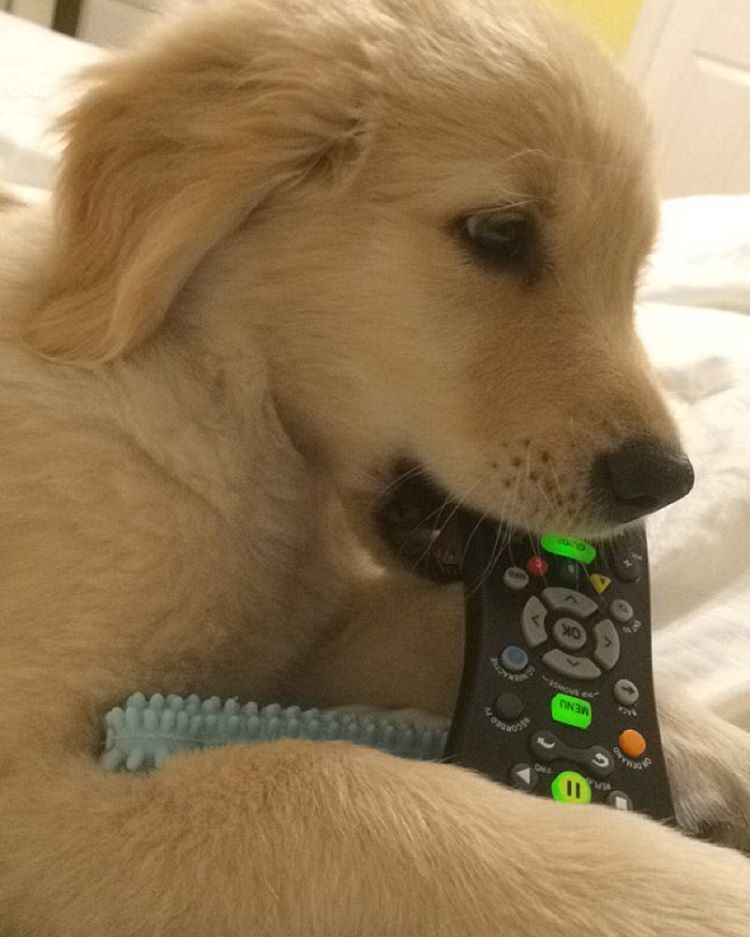 """""""You know you're half-asleep when you mix up your nylabone with the remote.  Bowden ♥"""
