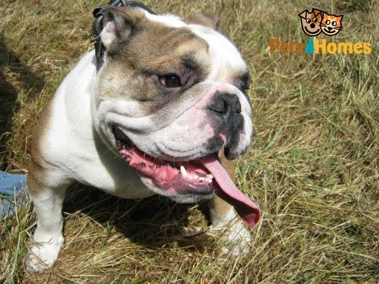 English Bulldog For Sale English Bulldog For Sale British