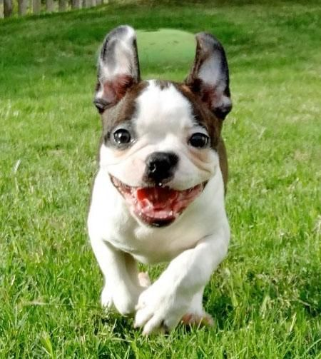 Helo the Boston Terrier