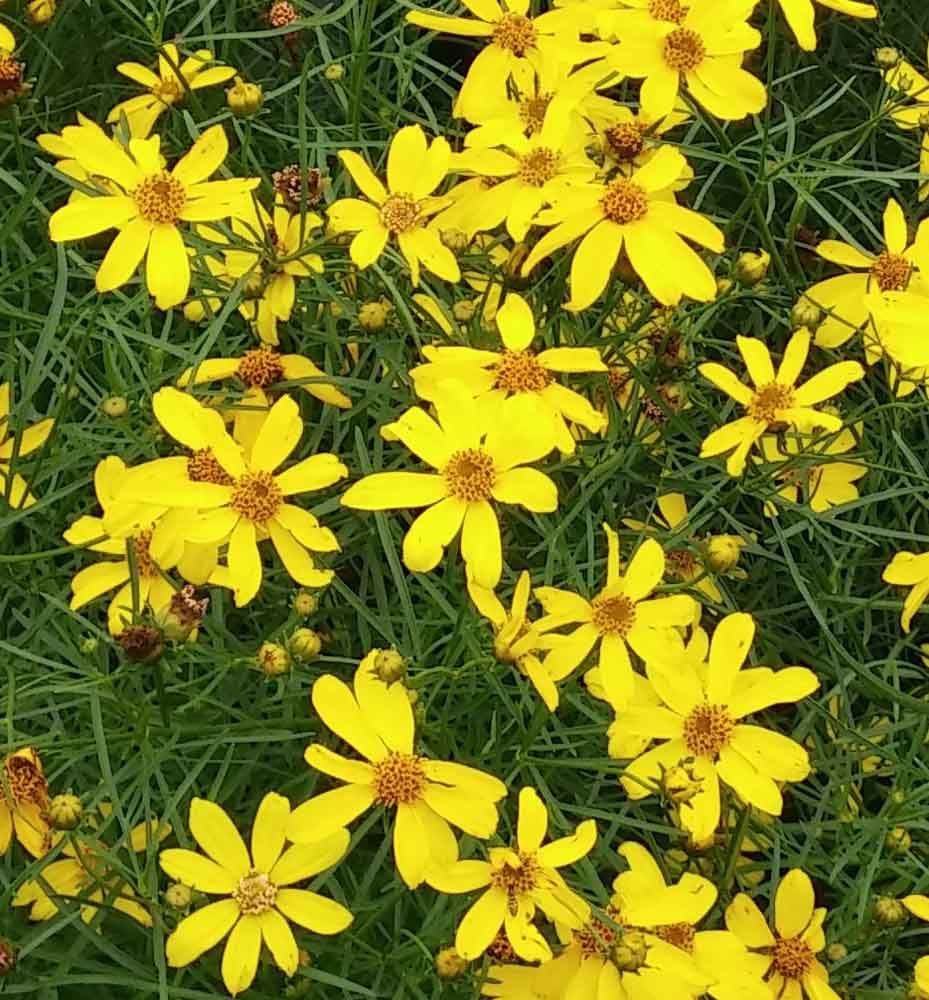 Mayo Clinic Electric Avenue Tickseed Long Blooming Perennial
