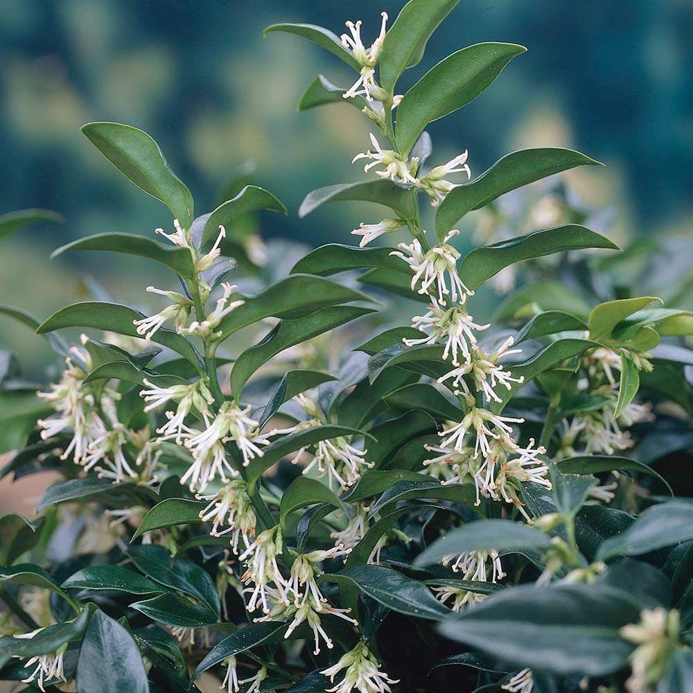 c87494f888861fa84d23f7e85e82c91e - Winter Flowering Shrubs For Small Gardens