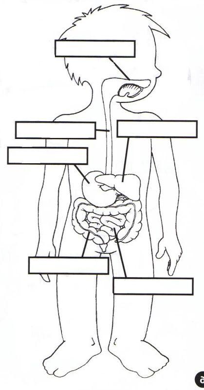 dibujo del sistema digestivo para colorear
