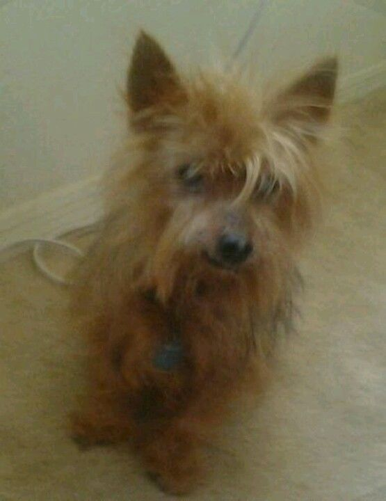 Ezzie 13 Years Old Cute Dogs Yorkshire Terrier Dogs