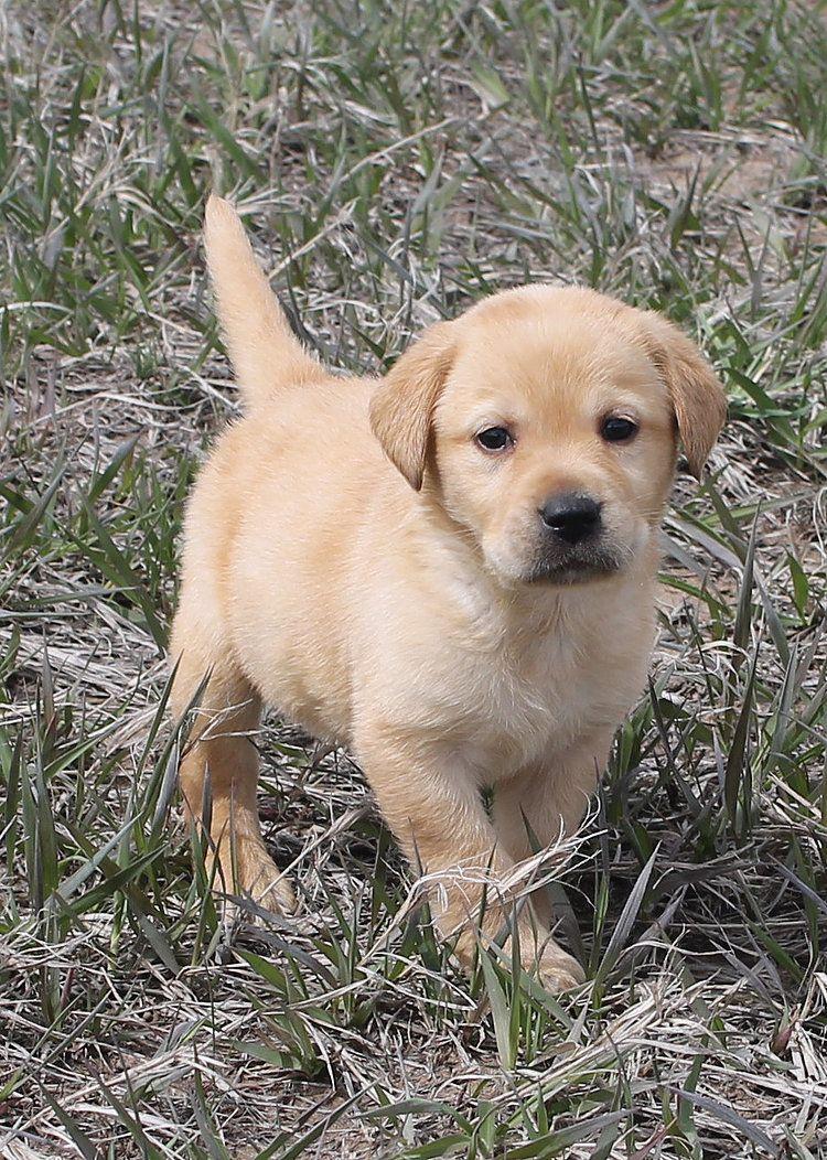 labrador retriever puppies for sale Labrador retriever