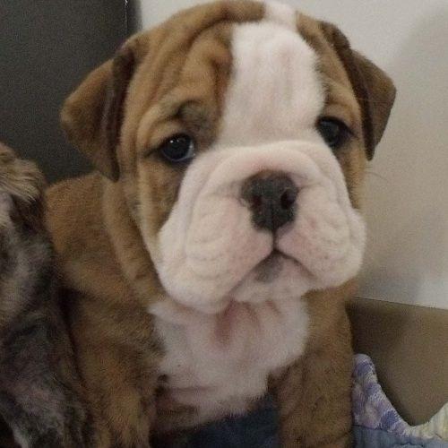 Brindle Baby Look At This Face English Bulldog Puppies