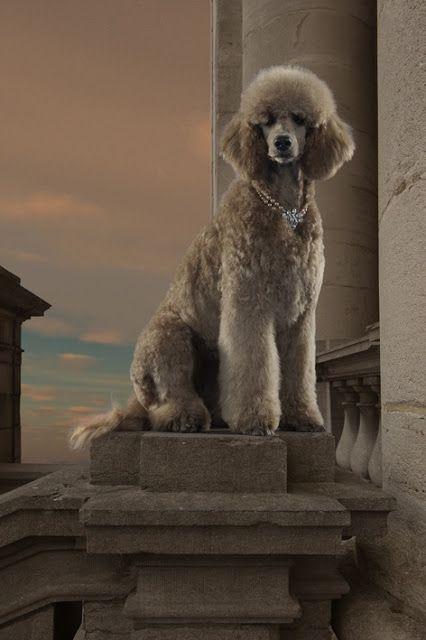 Poodle Dog Breed History Poodle Dog Dog Breeds Poodle Puppy
