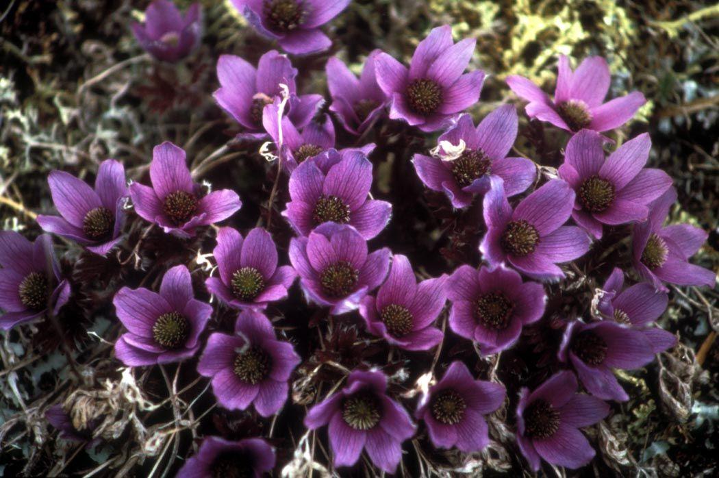 Anemone Drummondii   Flora Of The Sierra Nevada Alpine Zone   Wikipedia,  The Free Encyclopedia Images
