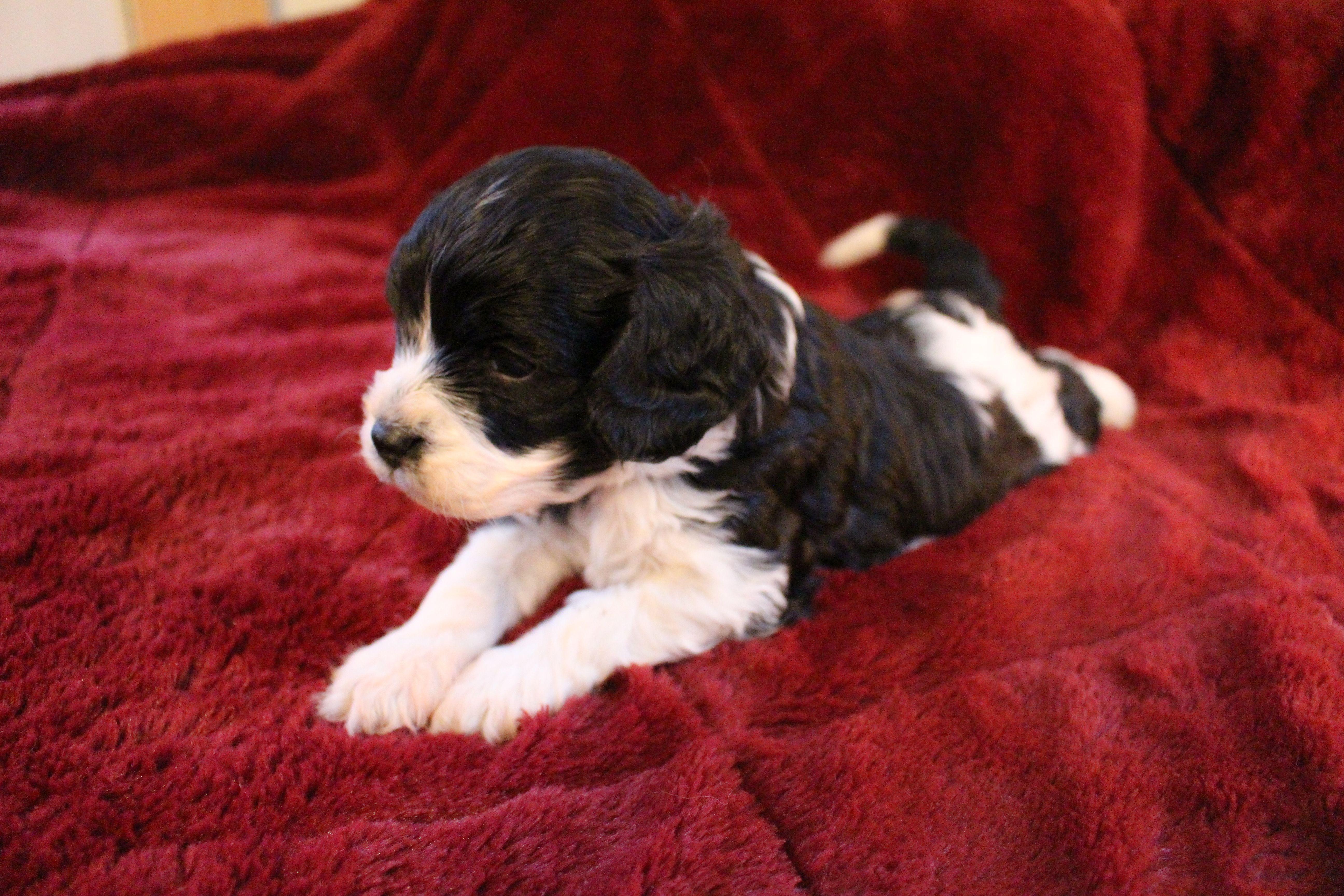 4 Week Old Black White Cavapoo Wrangler Jules Eli Pup Photo Credit Woodtravis Www Pinewoodcavapoos Com Cavapoo Puppies Cavapoo Puppies