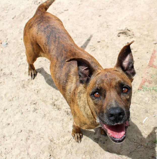 Fergie is a beautiful brindle Boxer blend. This medium