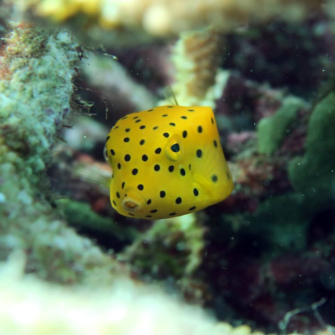A Yellow Boxfish Ostracion Cubicus Stopped By To Say Hello Today Scuba Marinelife Orcascuba Malaysia Boxfish In 2020 Scuba Say Hello Marine Life