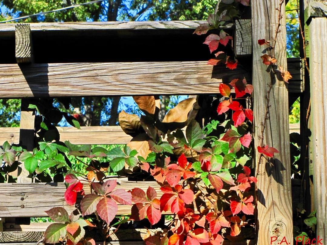 ....___________________............#nature#fall#autumn#fences#outdoors#photography#naturephotography#red#green#roadside#hiking#leaves#travelusa#usa#vines