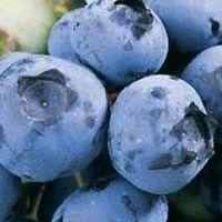 Blueberry - Duke