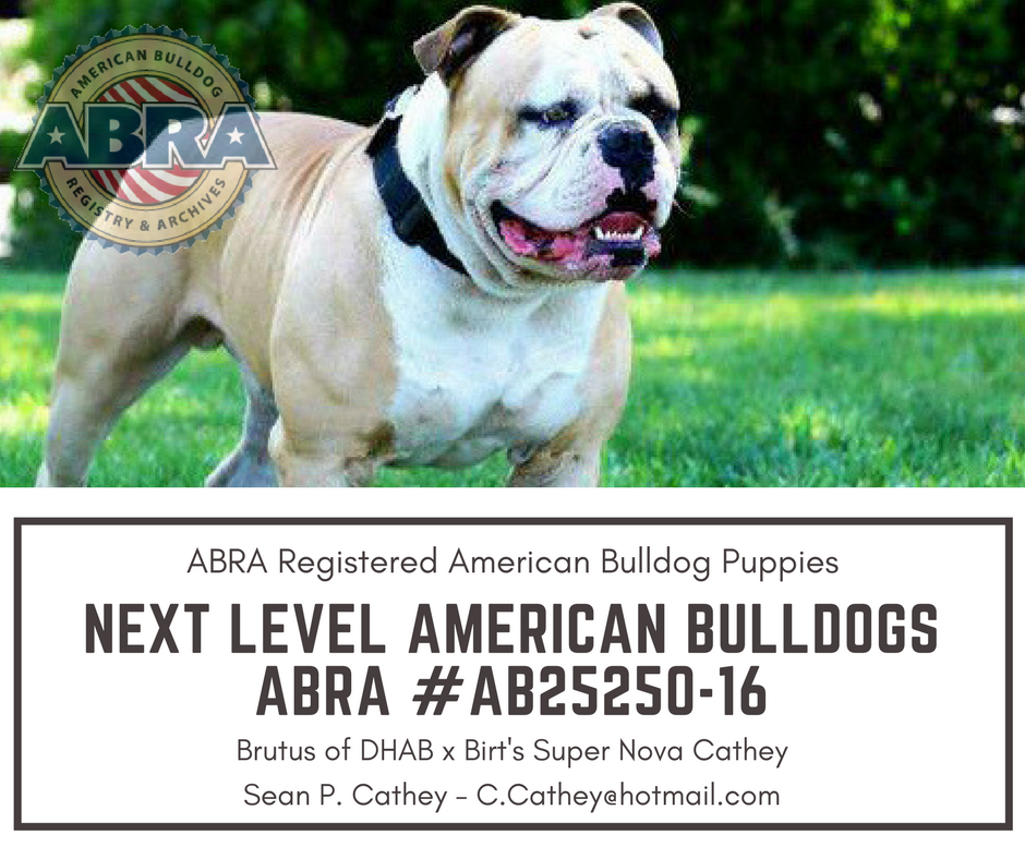 American Bulldog Puppies For Sale Abra American Bulldog Registry Archives American Bulldog Puppies American Bulldog Puppies For Sale