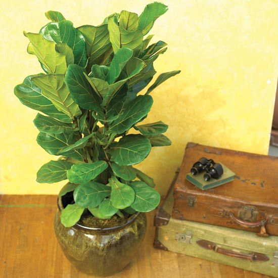 Fiddle Leaf Fig A Wonderful Tree Ficus Lyrata Has Large Shiny Leaves That Look Like They Ve Been Lacquered It S Perfect For Adding