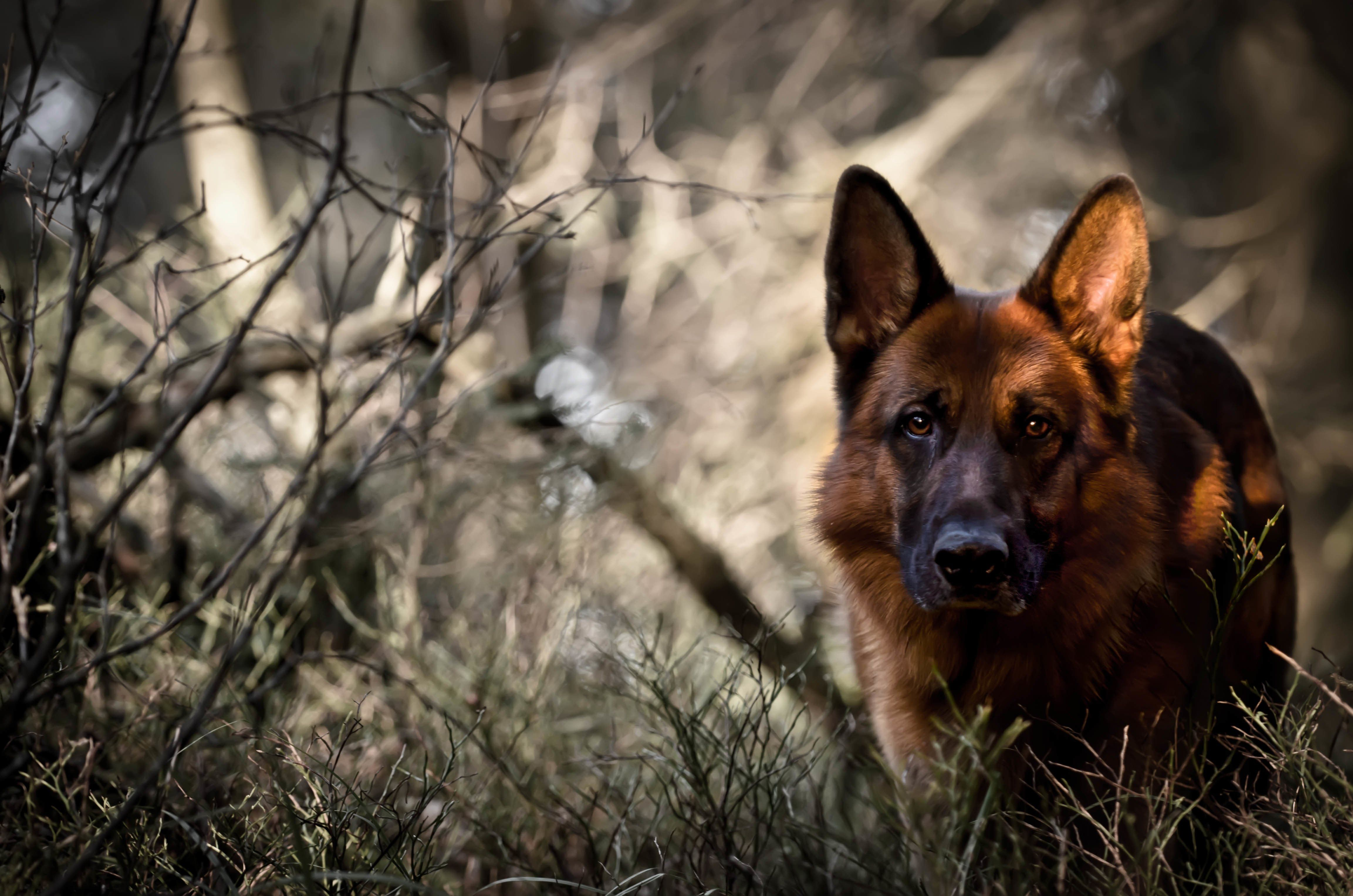 german shepherd wallpaper dog forest german shepherd wallpaper 4611x3054 433515