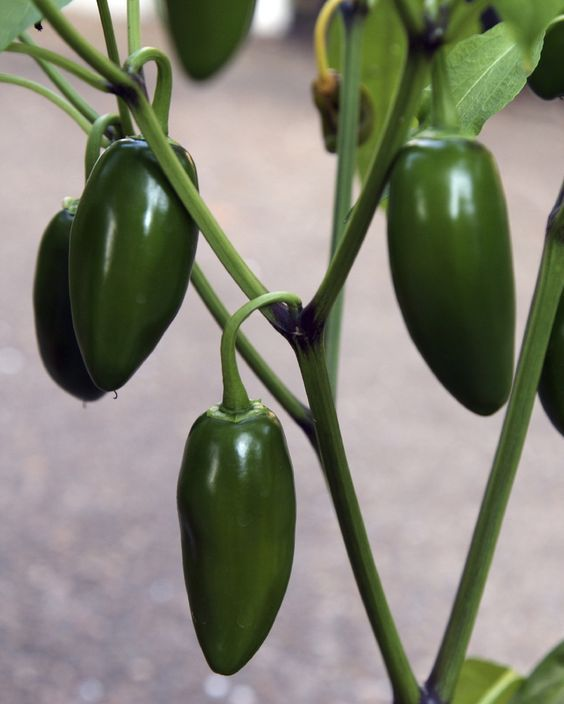 Jalapeno Plant Care – How To Grow Jalapeno Peppers 400 x 300