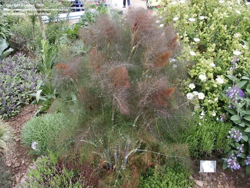 Full Size Picture Of Bronze Fennel Rubrum Foeniculum Vulgare