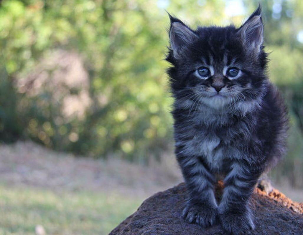 Maine Coon Kitten Bailey 4 weeks old | Forever Loyal Maine