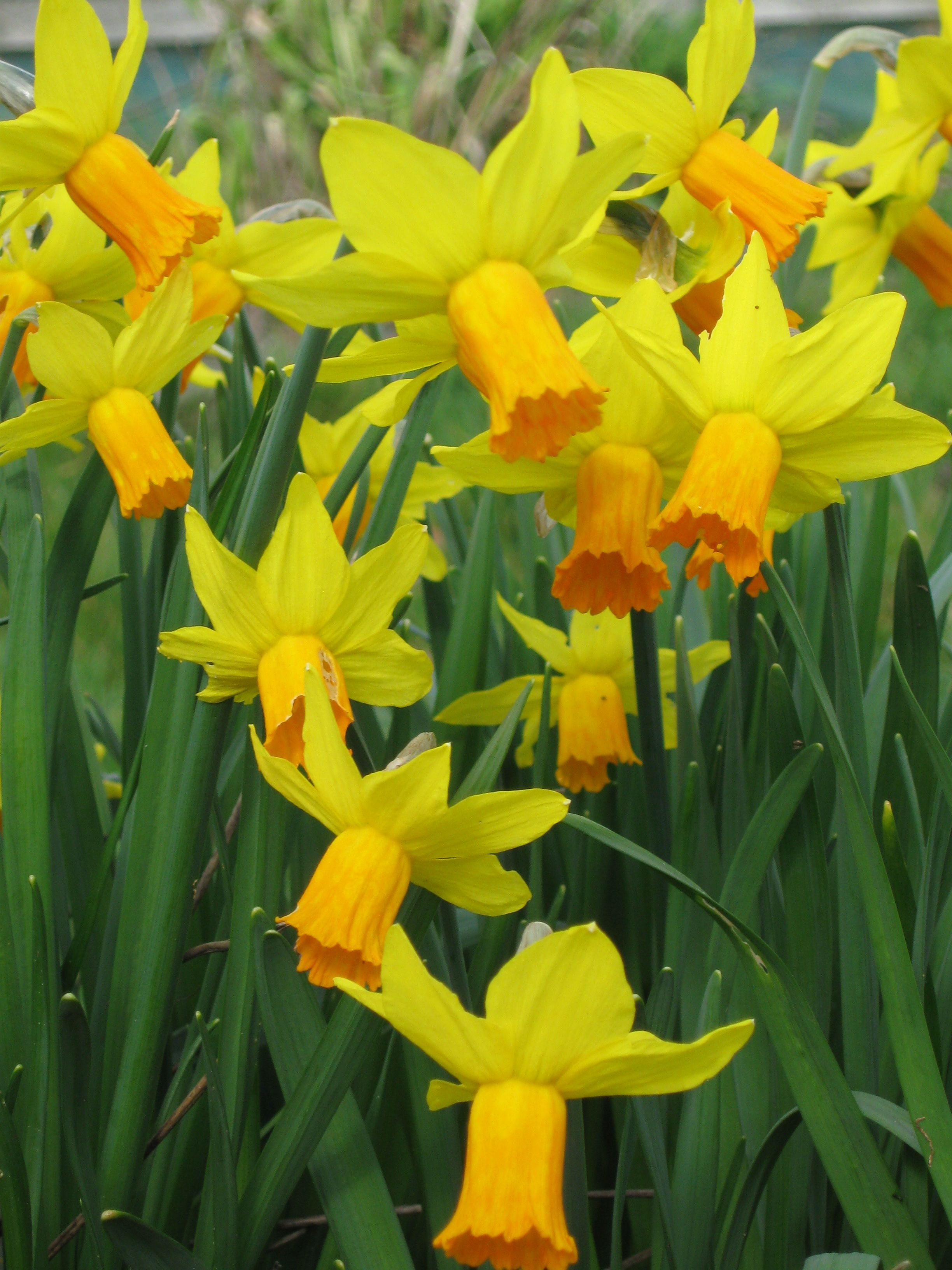 Narcissus Jetfire Lovely To Have Bulbs Flowering In The Field