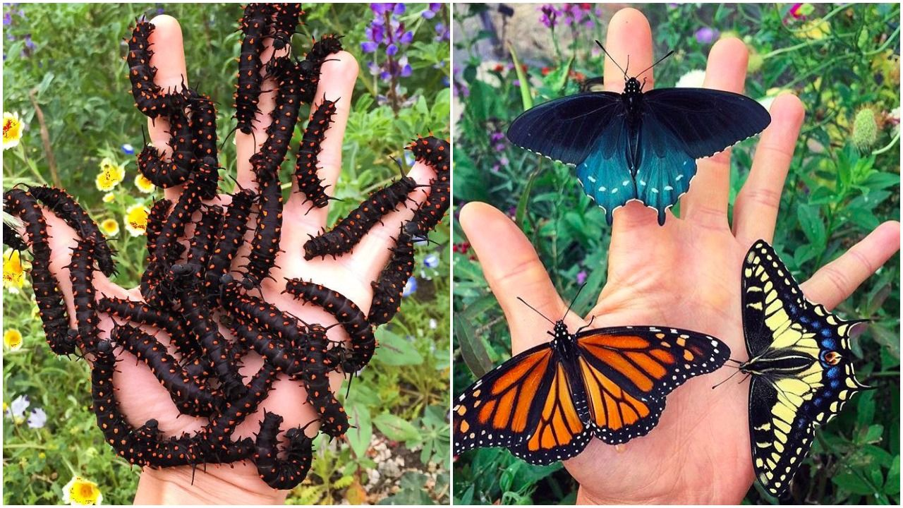 The California pipevine swallowtail caterpillars on a hand and The California pipevine swallow with other butterflies