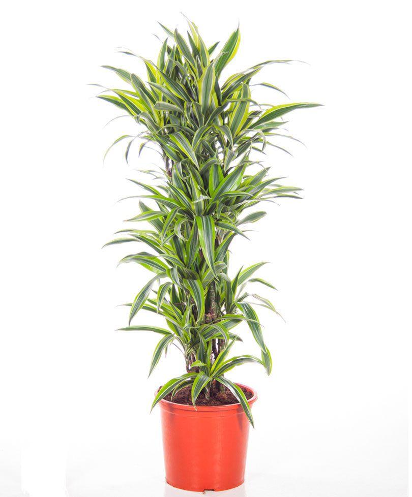 Dracaena fragrans \'Lemon Lime\' (pau d\'água) arbustiva, 0.6- 9 ...