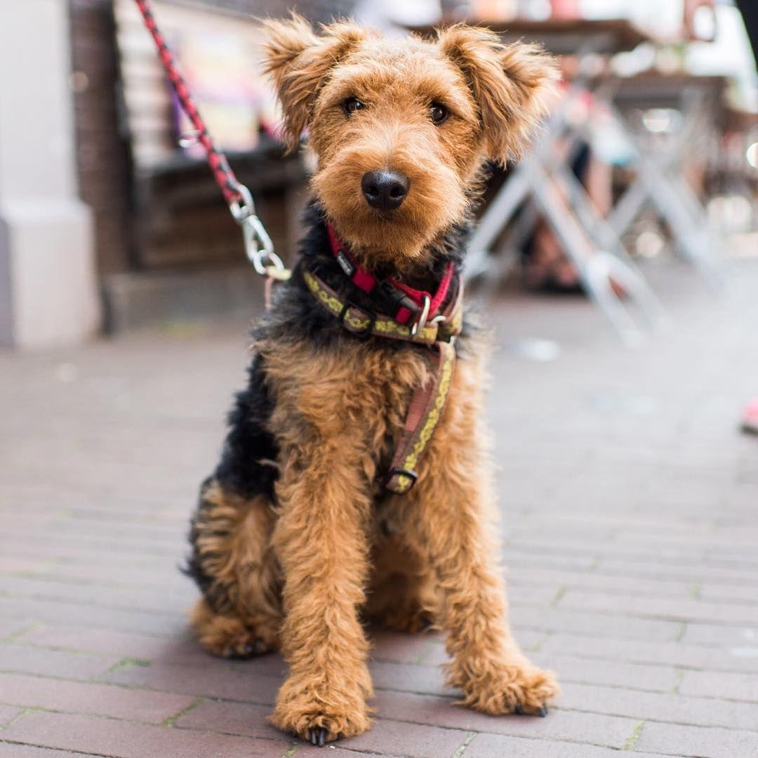 Yoko, Welsh Terrier (1 y/o), Amstelstraat, Amsterdam