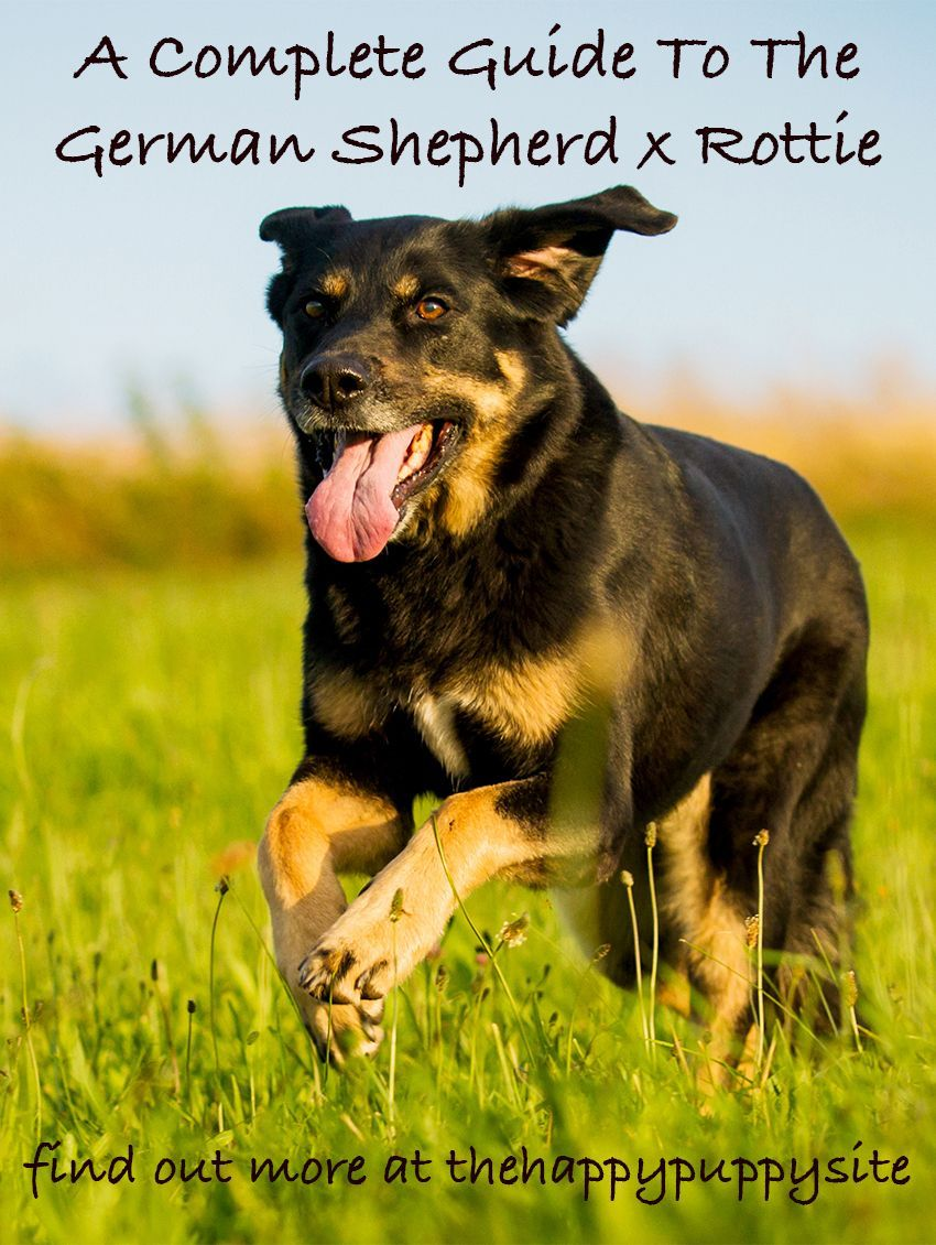 German Shepherd Rottweiler Mix Colors Can Range Through Either The