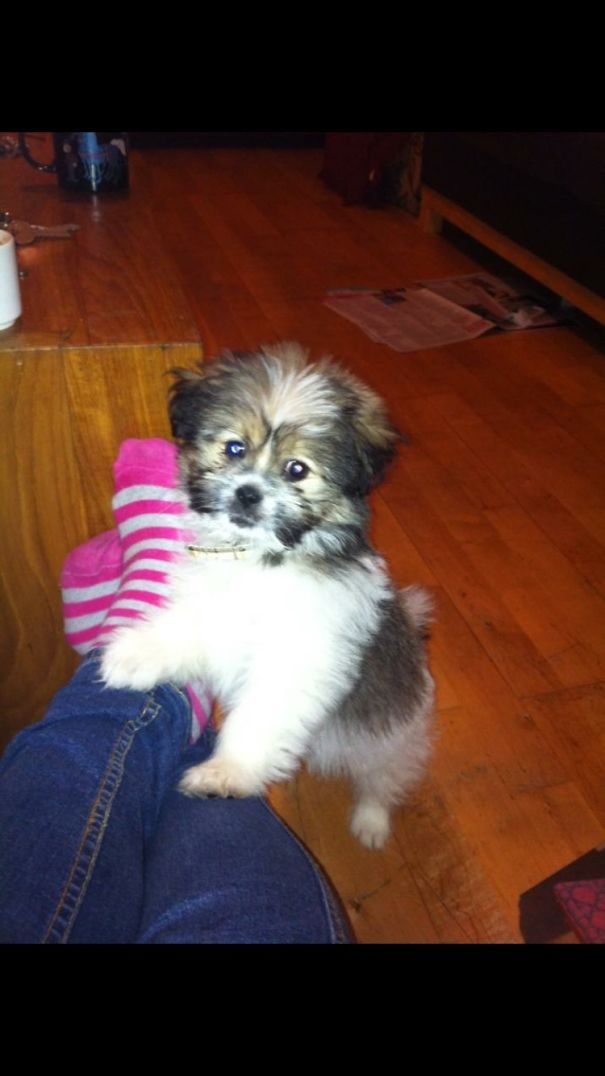 341 Crossbreed Dogs That Will Make You Fall In Love With Mutts Dog Crossbreeds Pomeranian Mix Puppies