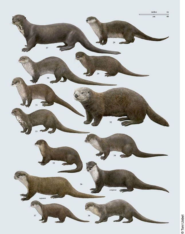Otter Comparative Anatomy Google Search Animal Pinterest