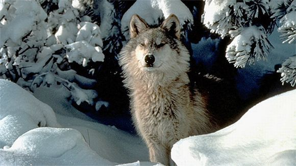According to game experts in Finland now has an estimated 34-38 wolves flocks, and about 250 wolves.
