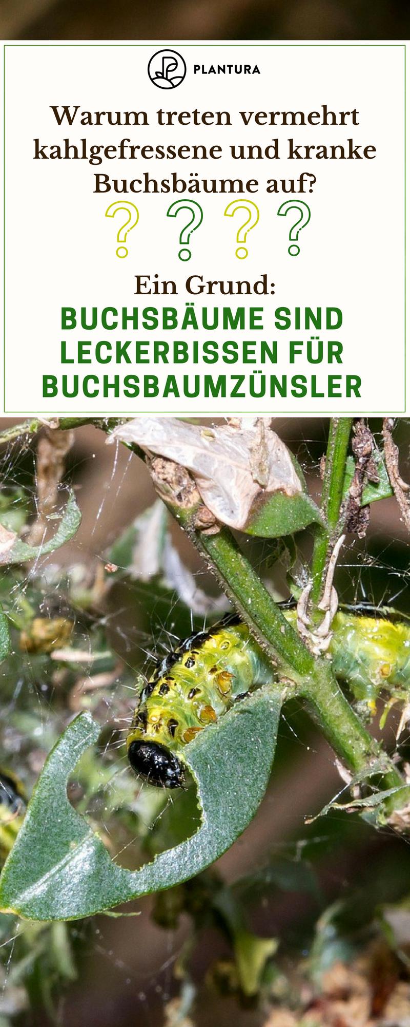 Buchsbaumzunsler Alles Rund Um Den Zunsler Buchsbaumzunsler Schadlinge Im Garten Buchsbaum Garten