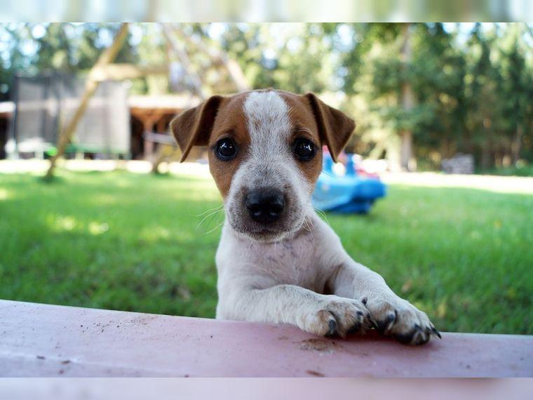 treue jack russel terrier welpen aus str hen deine die s esten hunde auf deine. Black Bedroom Furniture Sets. Home Design Ideas