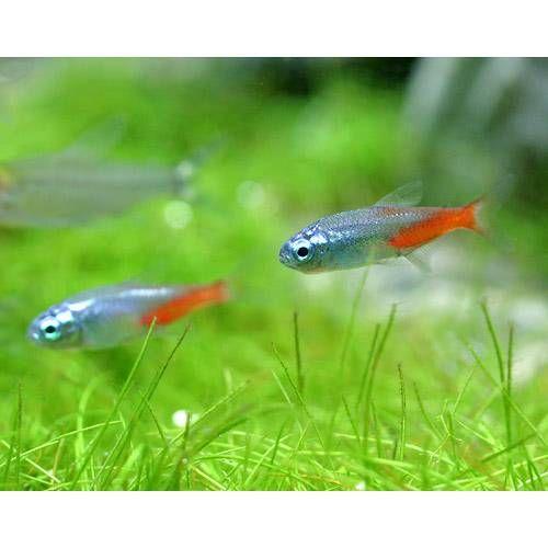 熱帯魚 ダイヤモンド ネオン 30匹 北海道 九州 沖縄航空便要保温 熱帯魚 ネオンテトラ 航空便