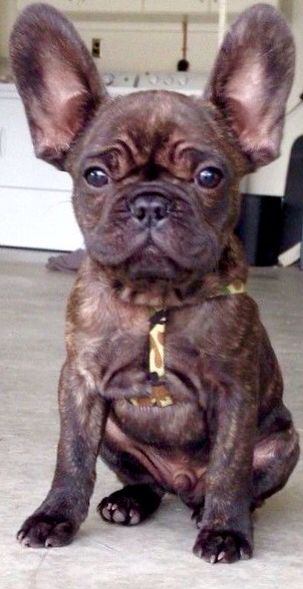 I M All Ears French Bulldog Puppy Puppy Time Bulldog