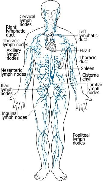 The Lymphatic System- What it is, and its Parts | LYMPH Health ...