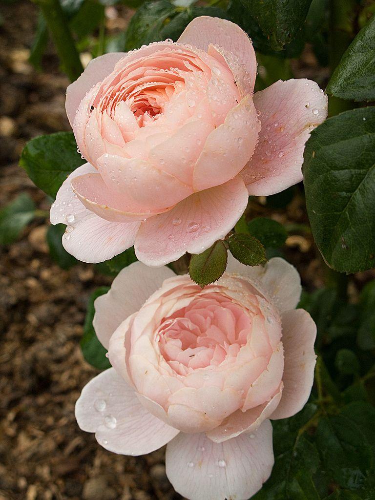 Queen Of Sweden 2 English Roses Rose Flower Rose