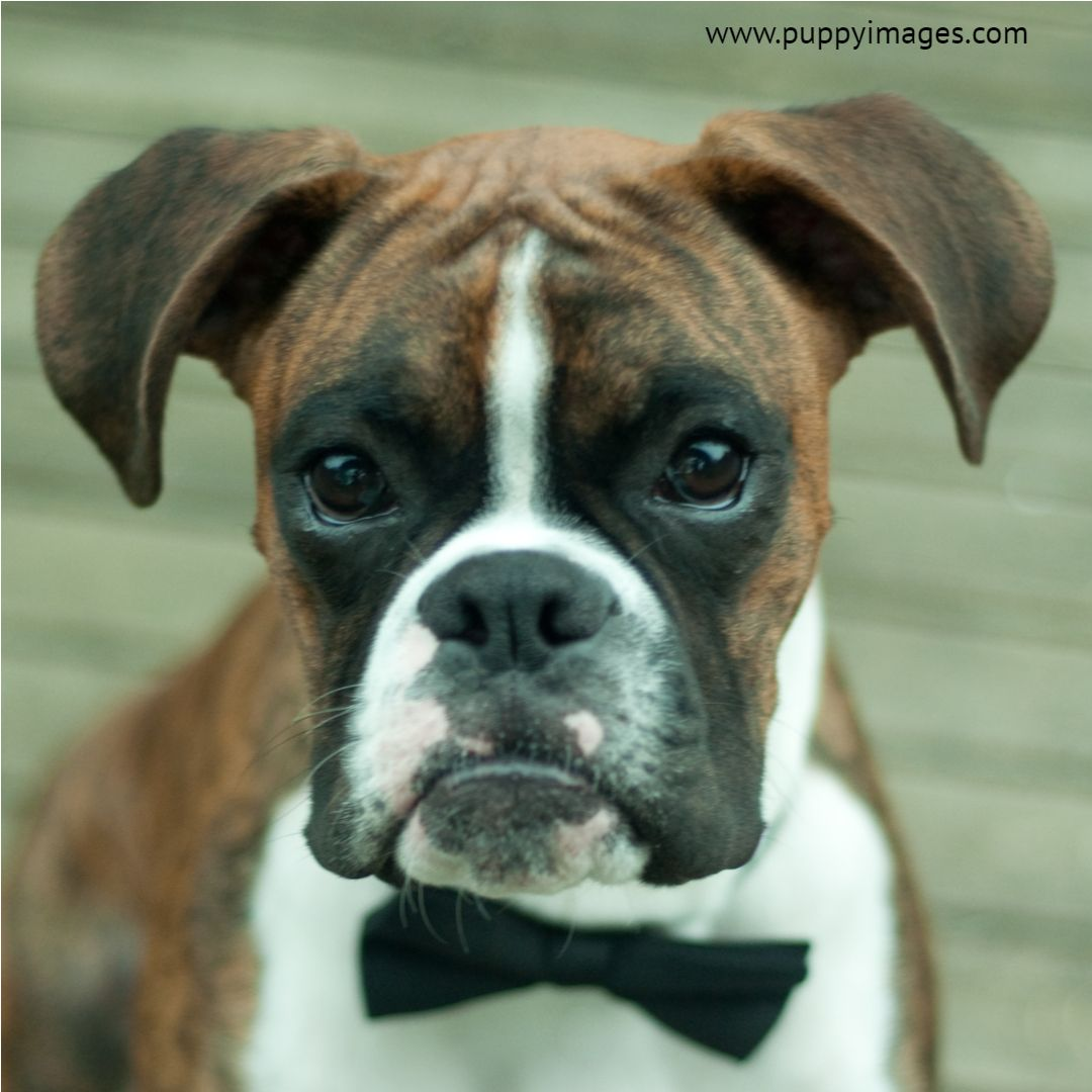 Boxer Puppy Wearing Bowtie Boxer Puppy Puppy Dog Images Boxer Puppies