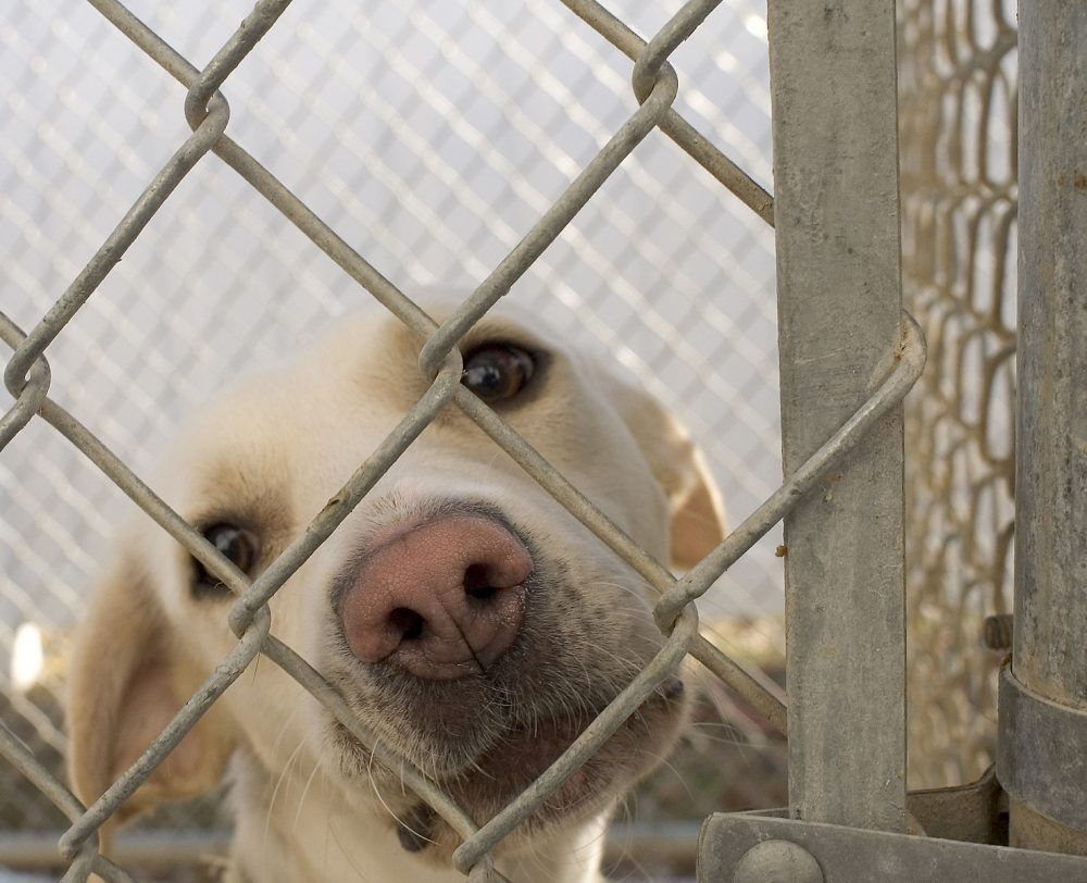 In A Victory For Animal Welfare The State Of Michigan Has Succeeded In Earning No Kill Status To Reach This Status Animal Shelter Losing A Dog Pet Adoption