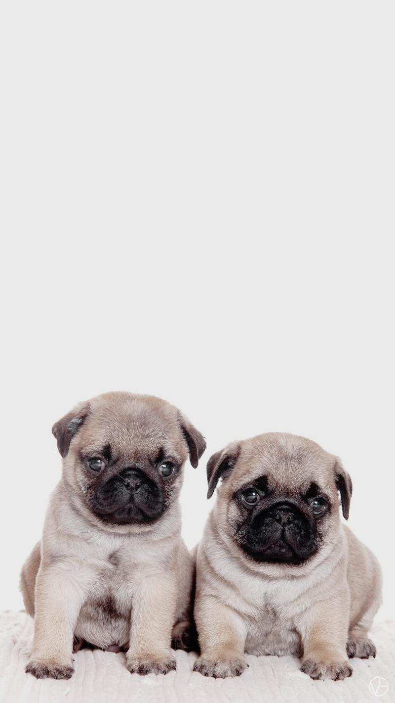 pugs wallpaper | tumblr | dogs | pinterest | pug wallpaper and wallpaper