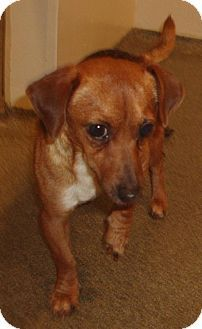 Vancouver Wa Dachshund Chihuahua Mix Meet Jaslyn A Tiny And