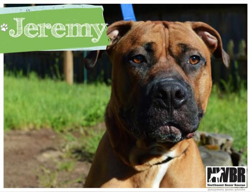 Meet Jeremy A Petfinder Adoptable Boxer Dog Eugene Or This Is Jeremy Jersey He Is A Loveable Goofy 70 Pound Bo Boxer Rescue Boxer Mastiff Mix Boxer Dogs