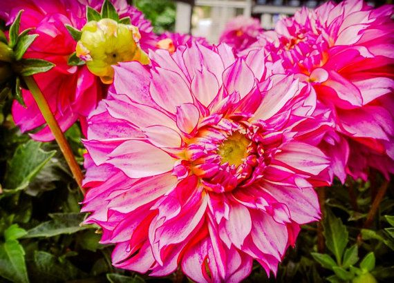 Pink and Yellow Dahlia Flower