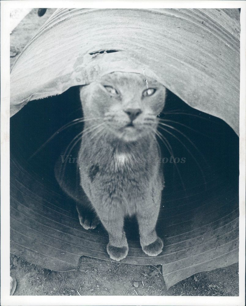 1968 Photo Cat Little Whiskers Cage Tunnel Historic Vintage Dirt Ground Solemn