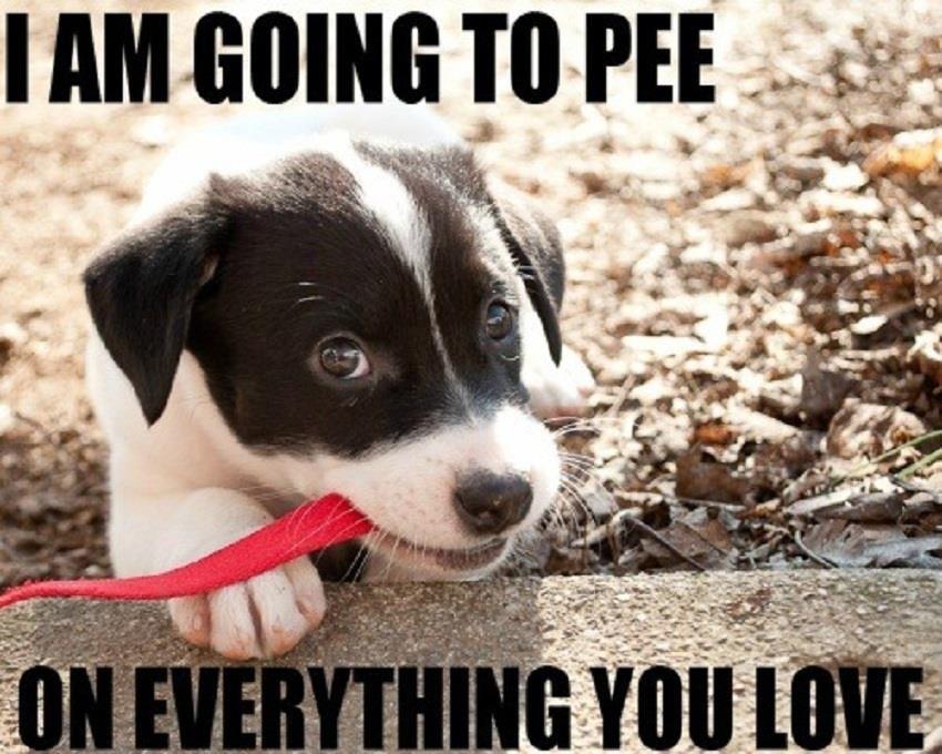 Potty Training Challenges Puppy Meme Cute Puppies Animals